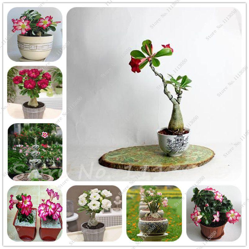 [Visit To Buy] Rare True Seed Mini Desert Rose Seeds Balcony Bonsai  Ornamental Flowers Adenium Obesum Seeds 1 Pcs Home Graden Flower Seeds
