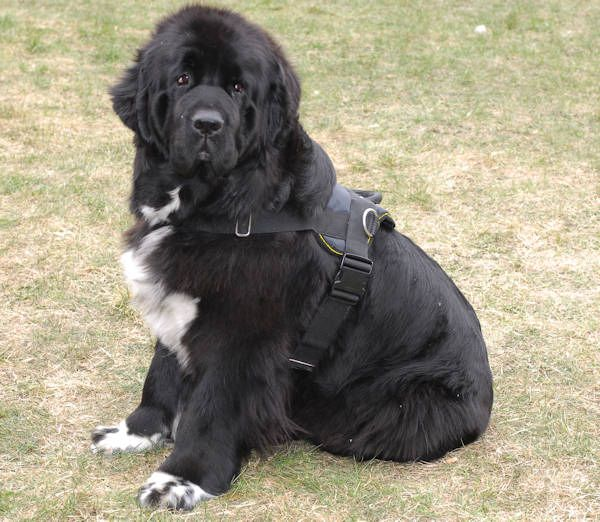 nylon dog harness with handle for newfoundland | Dog stuff ...