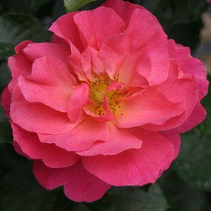Rosa Livin La Vida Buy Rose Shrubs Online Landscaping With Roses Beautiful Flowers Pictures Rose