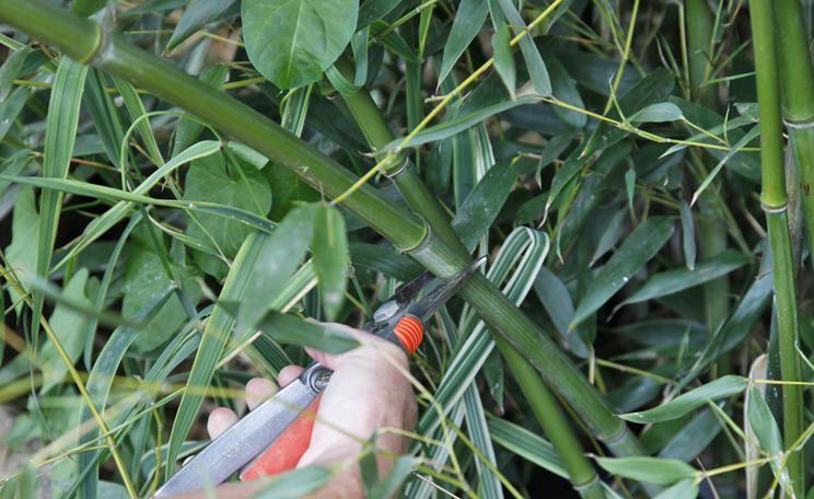 Bambushecken als Sichtschutz Bambus schneiden