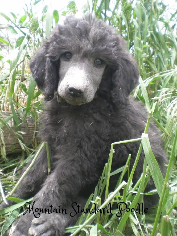Lacey At 7 Weeks Old She Is A Silver Standard Poodle Puppy From