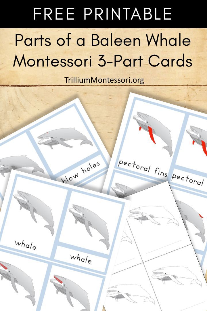 Free printable: parts of a baleen whale Montessori 3 part cards