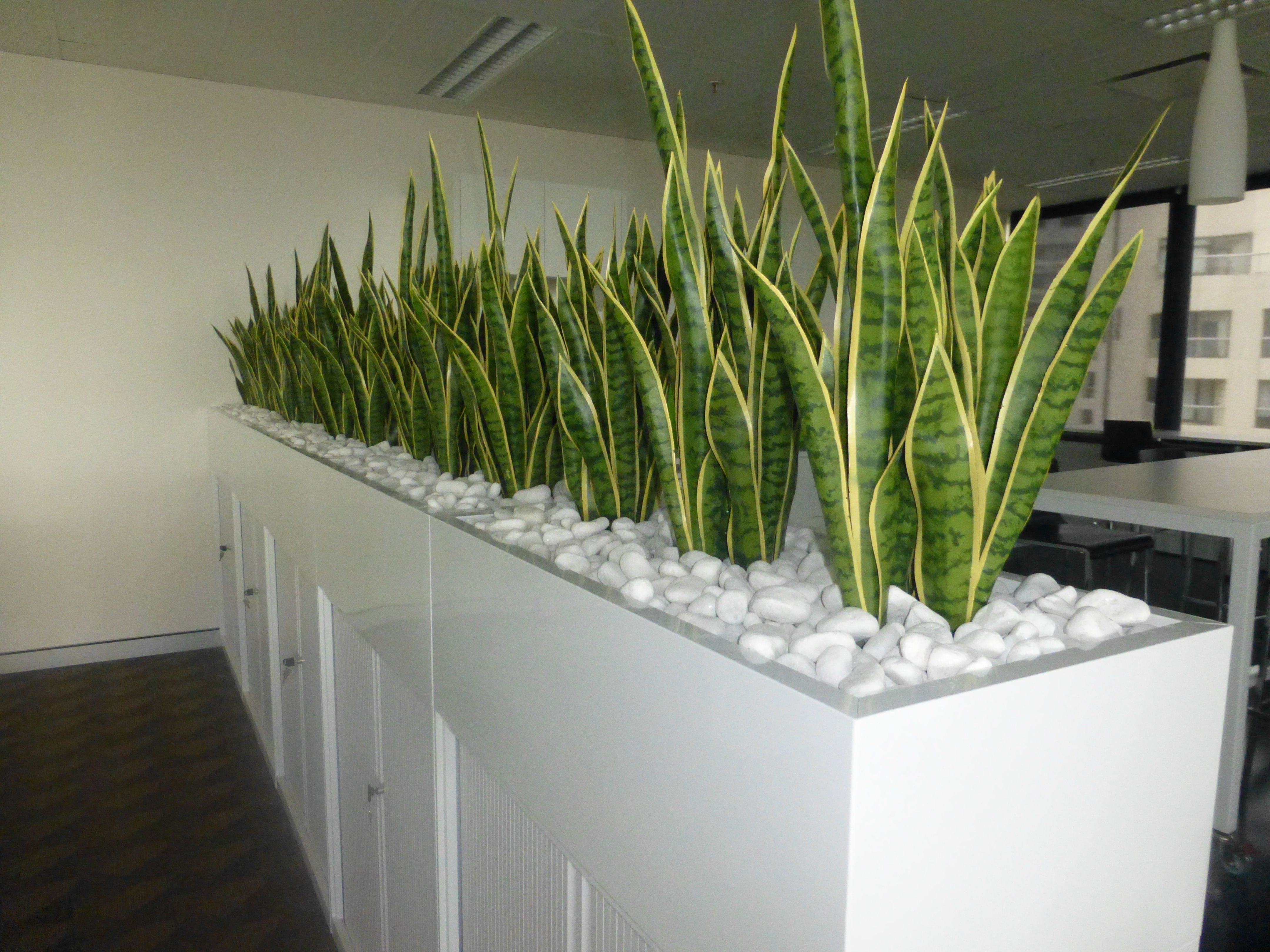 Planter box of mother in lawus tongue for a corporate office room