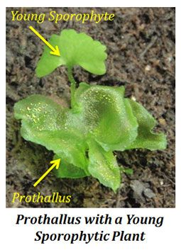 structure of prothallus pteridophytes pinterest botany and