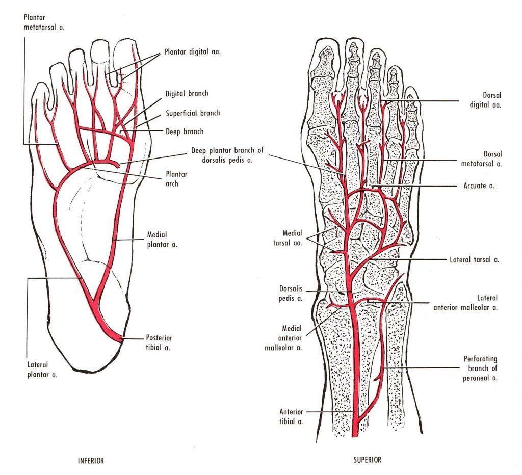 Foot Anatomy Arteries Fa13 Np Tools Pinterest Foot Anatomy