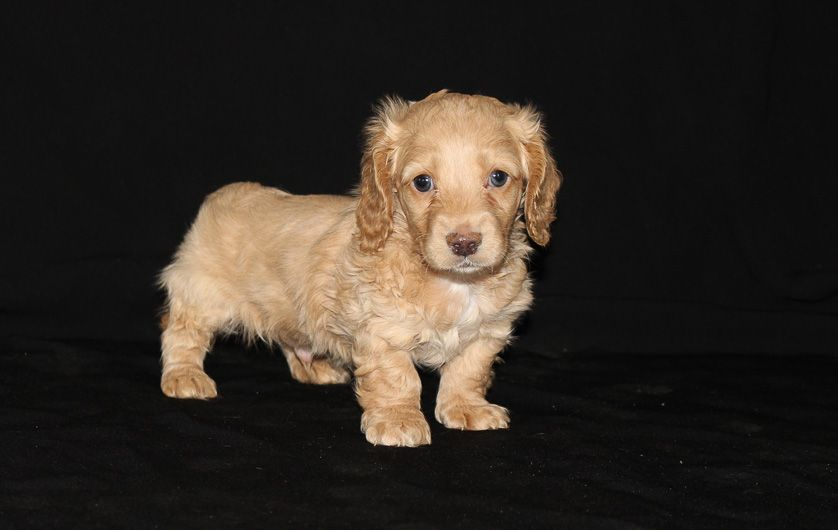 Dallas A Male Akc Dachshund Puppy For Sale In Shipshewana In