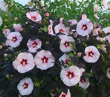 Hibiscus Summerific Perfect Storm White Flower Farm Part Shade Flowers Plants