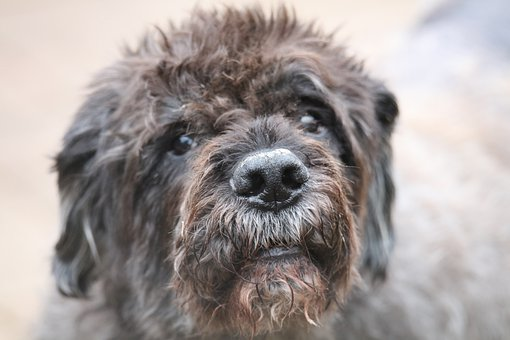 Bouvier Des Flandres. Looking for information about the