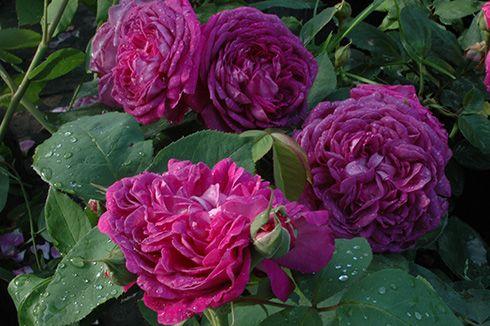 reine de violettes dunkle variante remontant rosen roses plants. Black Bedroom Furniture Sets. Home Design Ideas