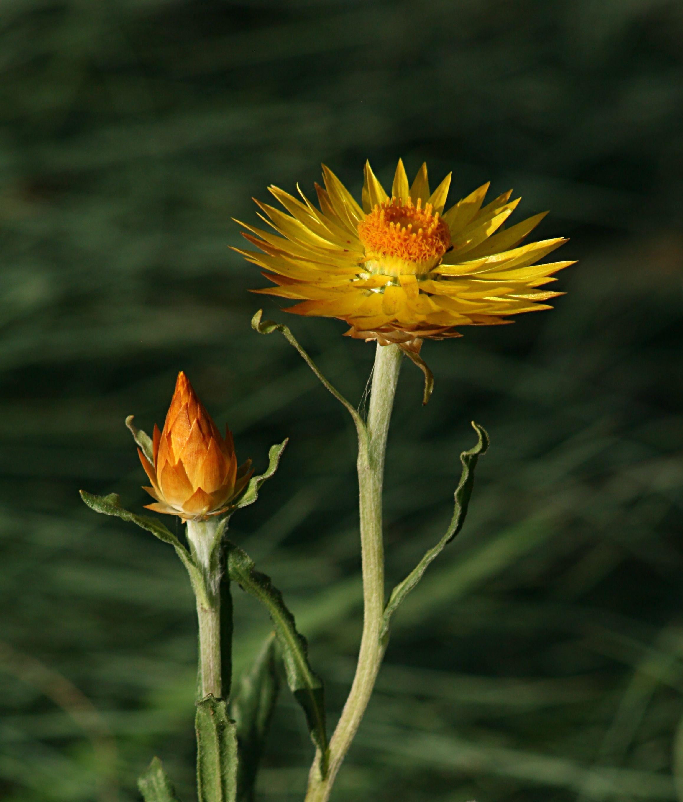 Xerochrysum subundulatum [Synonyms Bracteantha