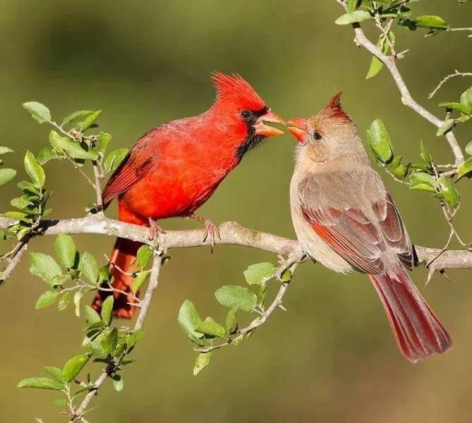 Imagenes Pajaros Cardenales En Pareja Google Search Pajaros Cardenales Cardenales Aves Aves Pajaros