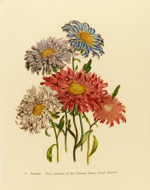 Chinese Aster Flower Print Victorian Botanical By Earlybirdsale 8 00 Vintage Flowers Flower Art Floral Art