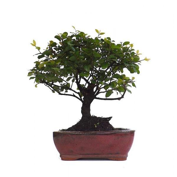 Acheter un Bonsai d\'intérieur Sageretia Theezans Shohin 23 cm 141001 ...
