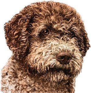 club de race lagotto romagnolo