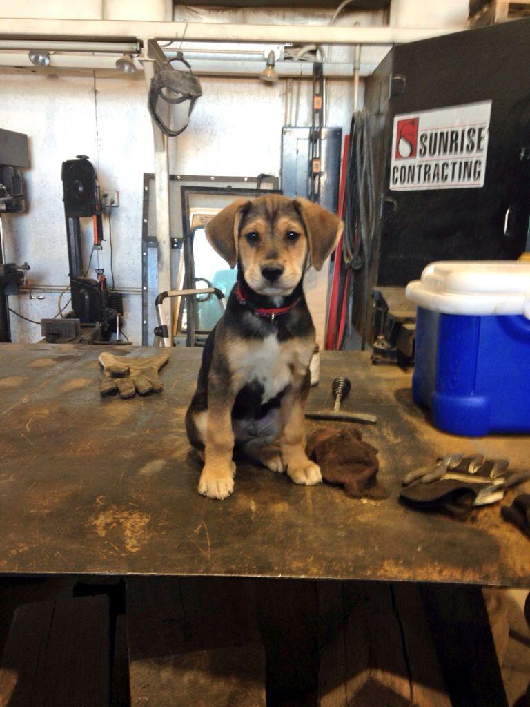 German Shepherd Beagle Mix Beagle Mix Puppies Beagle Mix Beagle