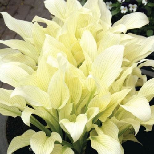 Funkia White Feather Hosta Gardening White Feather Hosta
