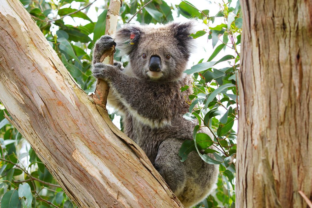 Why do koalas hug trees in the heat? | Hug, Green, The ... - photo#48