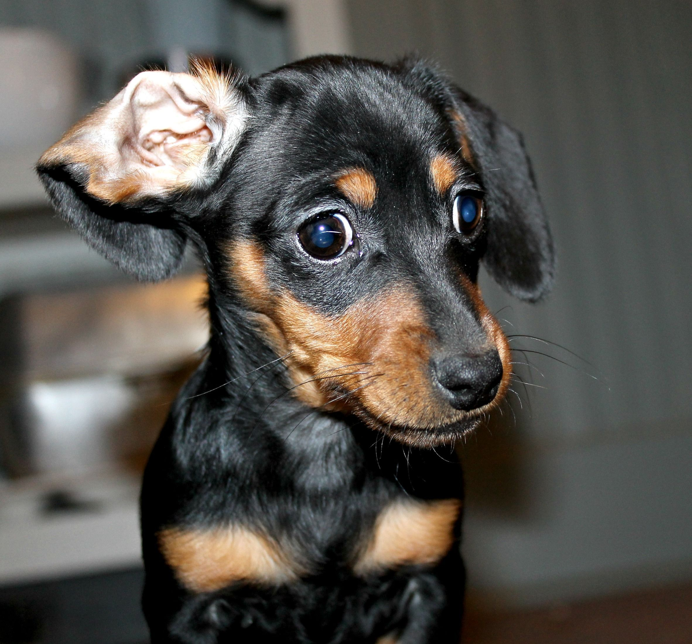 Dachshund Puppy Ears Cute Baby Animals
