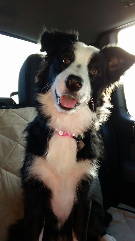 Kallie Loves Riding In The Car Collie Puppies Border Collie Puppies Collie Dog