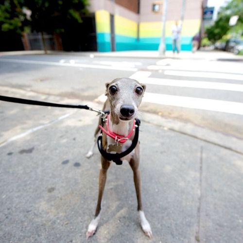 The Dogist Italian Greyhound Dog Greyhound Puppy Italian Greyhound
