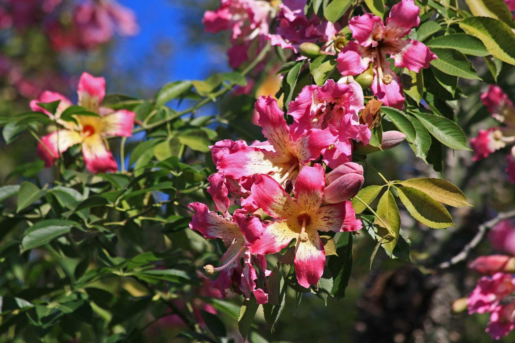Flowering trees fall flowering tree in san antonio silk floss fall flowering tree in san antonio silk floss mightylinksfo