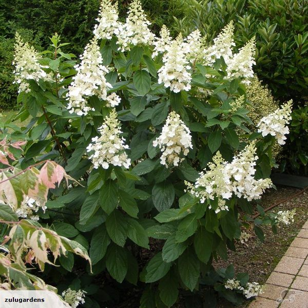 Image Result For Visual Display Garden Center: Image Result For Hydrangea Paniculata Kyushu