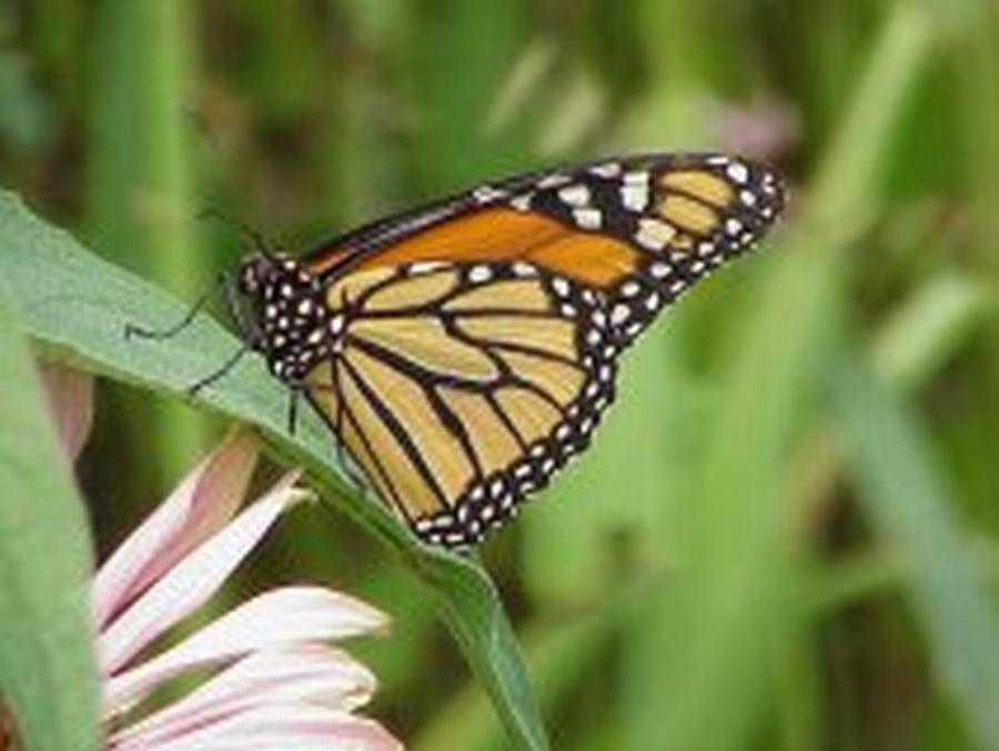 6 Most Common Butterflies In Ohio   Wilsonu0027s Garden Center