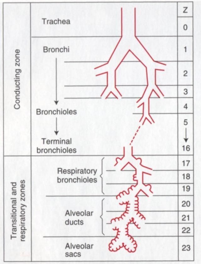 Structures Of The Airway Generations Trachea 0 Main Stem