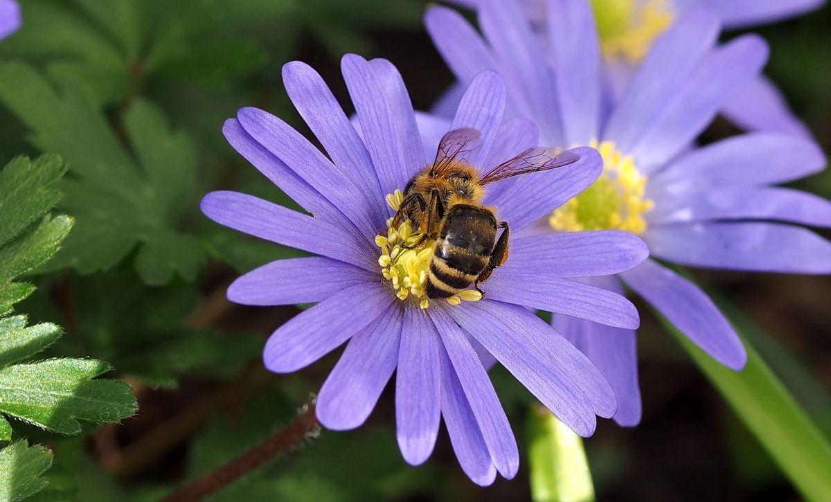Honingbij   (Van vroegevogels)