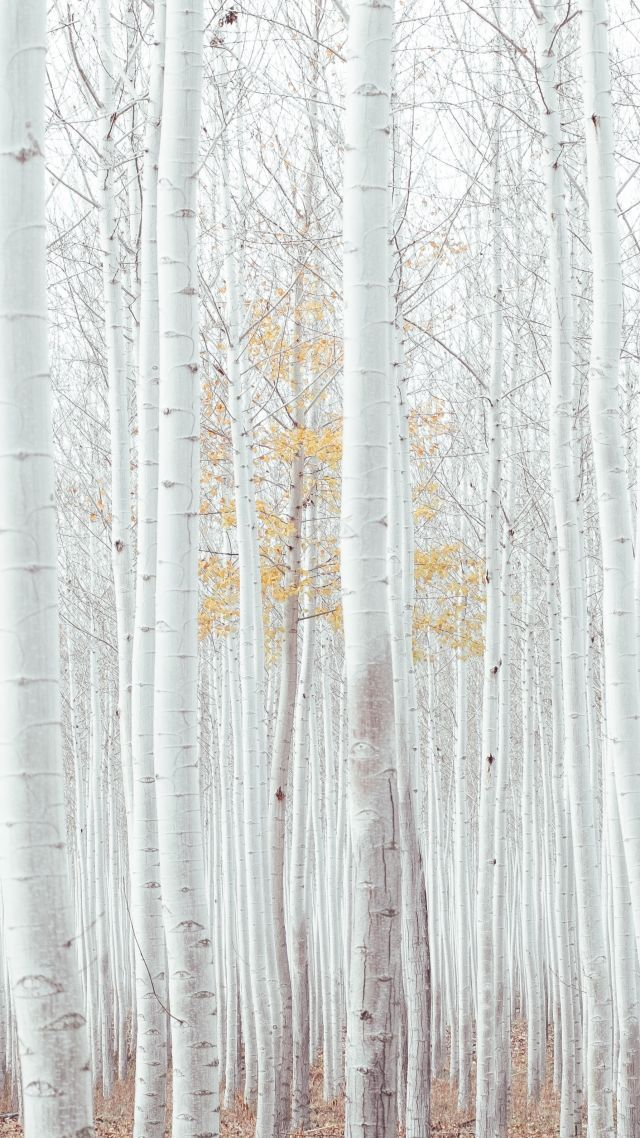 white, trees, forest, 4k (vertical) (With images) | White ...