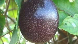 Passion fruit vines produce a heavy crop of fruit if grown in bright and warm conditions