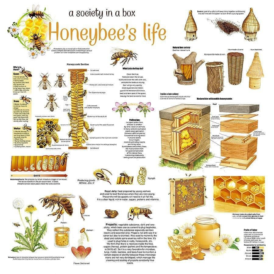 Honey Bees Infographic Poster by Gina Dsgn in 2020 Bee