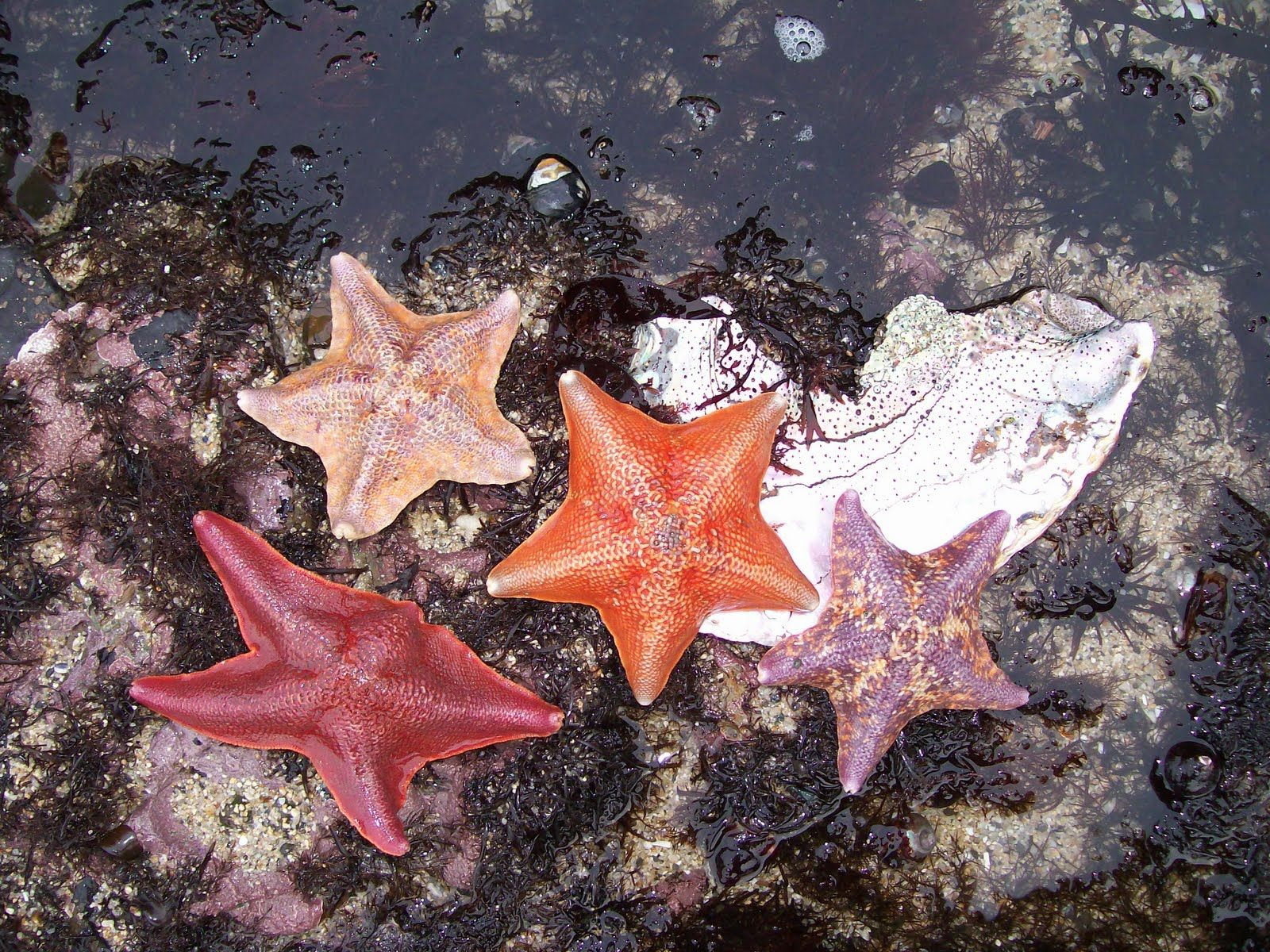 Sea Stars During Low Tide At Fitzgerald Marine Reserve Beautiful Places To Visit Moss Beach Marine Reserves