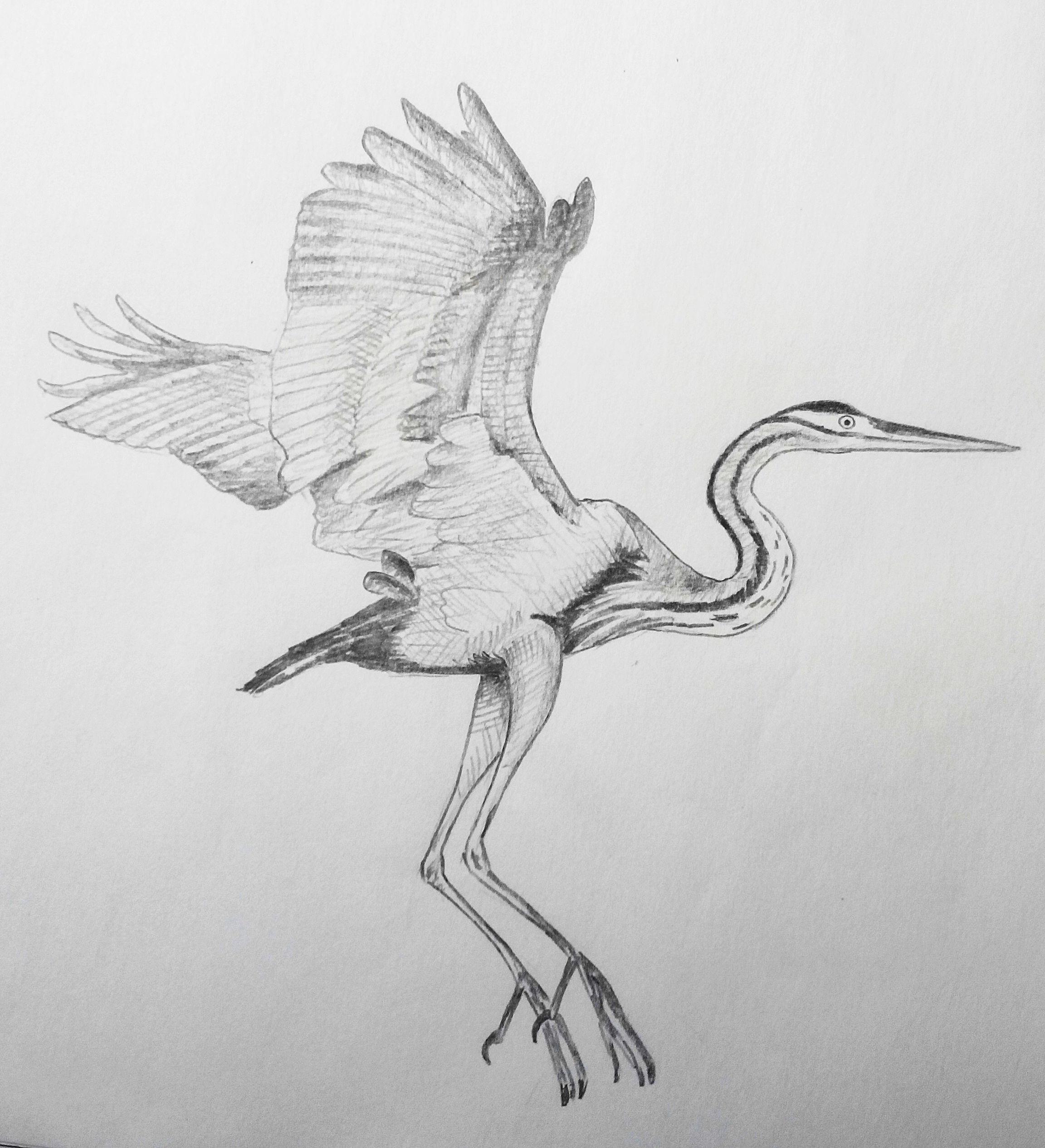 Скетч олівцем. Руда чапля. Pencil sketch. Purple heron.