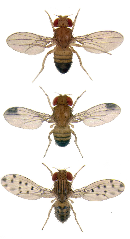 Fruit flies by bryce richter biologist sean carroll has found the fruit flies by bryce richter biologist sean carroll has found the molecular switches that workwithnaturefo