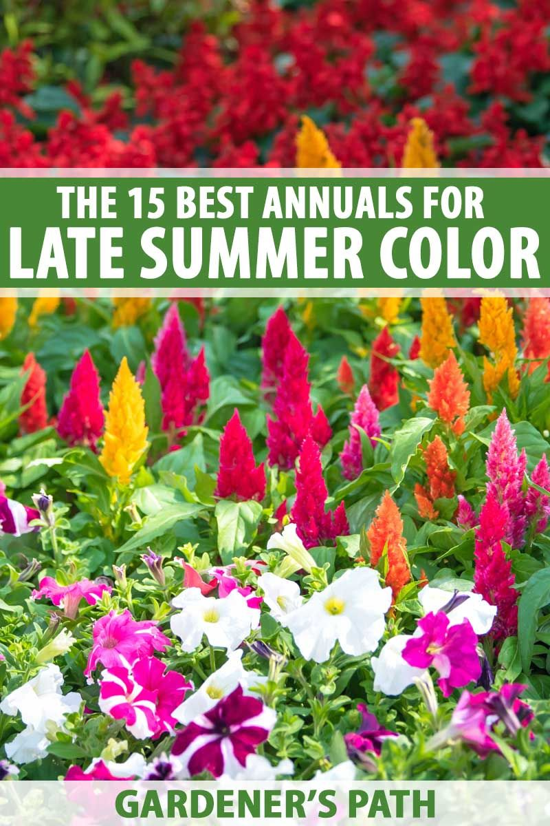The 15 Best Annuals For Late Summer Color With Images Edging