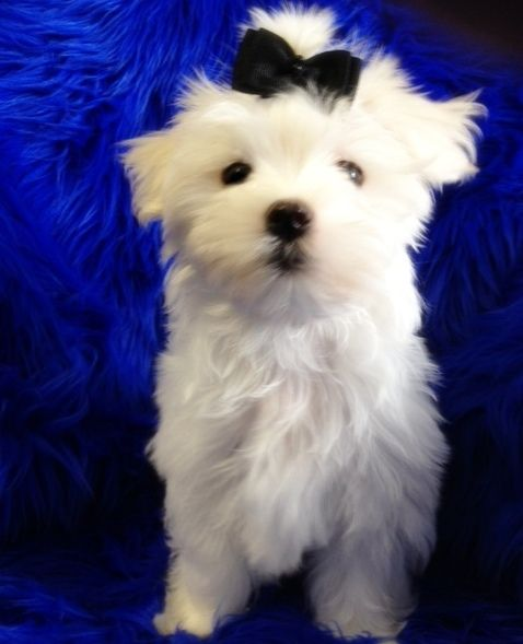 Maltese Breeder and Holistic Puppy Dog Food in Erie PA