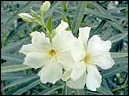 Pin by gaby otzoy on plantas venenosas plantas venenosas - Plantas venenosas de interior ...