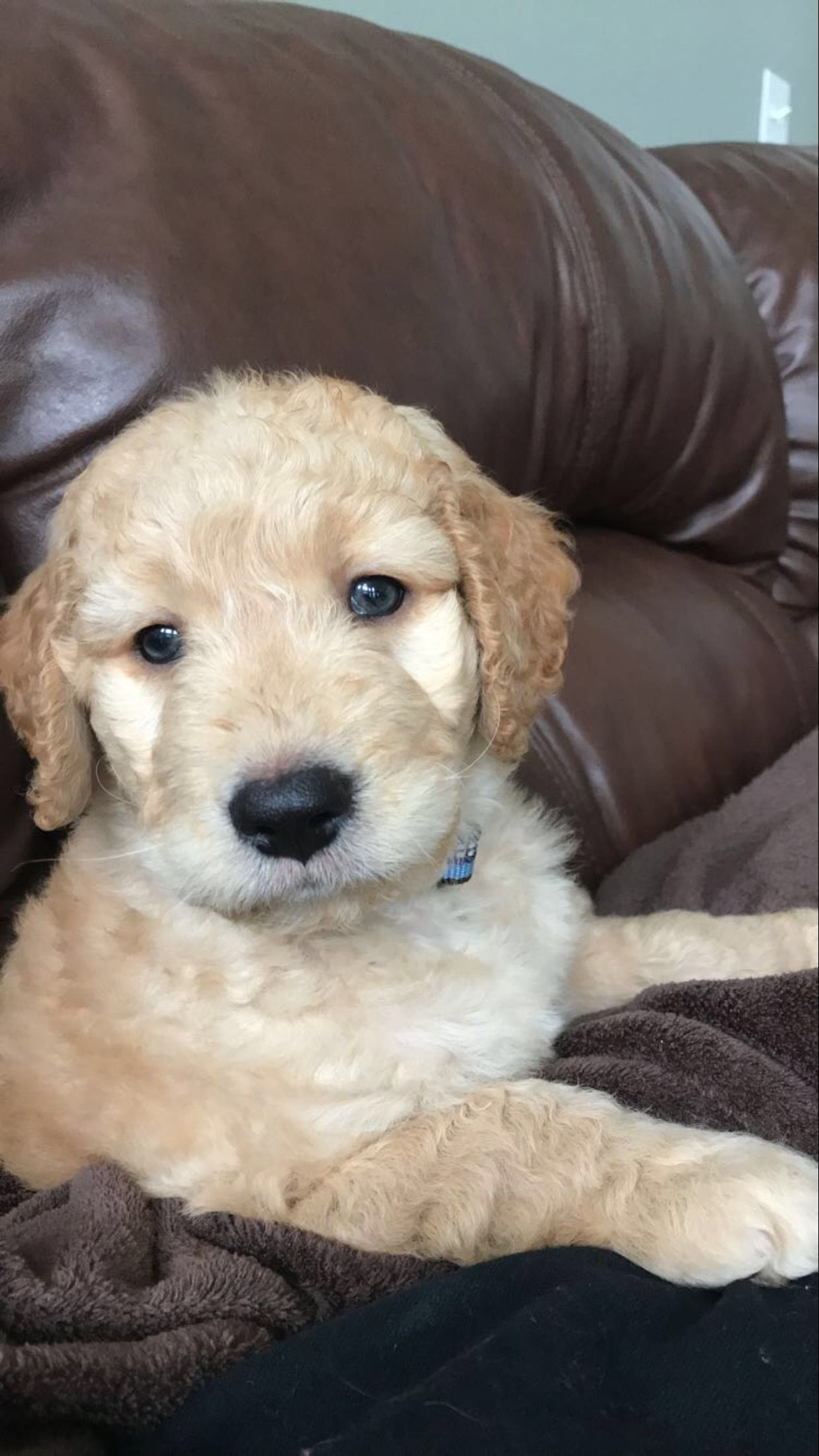 Kooper Boy Goldendoodle Dogs Animals