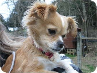 In fact, there are even Pekingese/Chihuahua breeders who