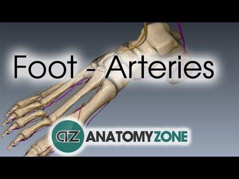 Foot Arteries - 3D Anatomy Tutorial - YouTube | A&P | Cardiac System ...