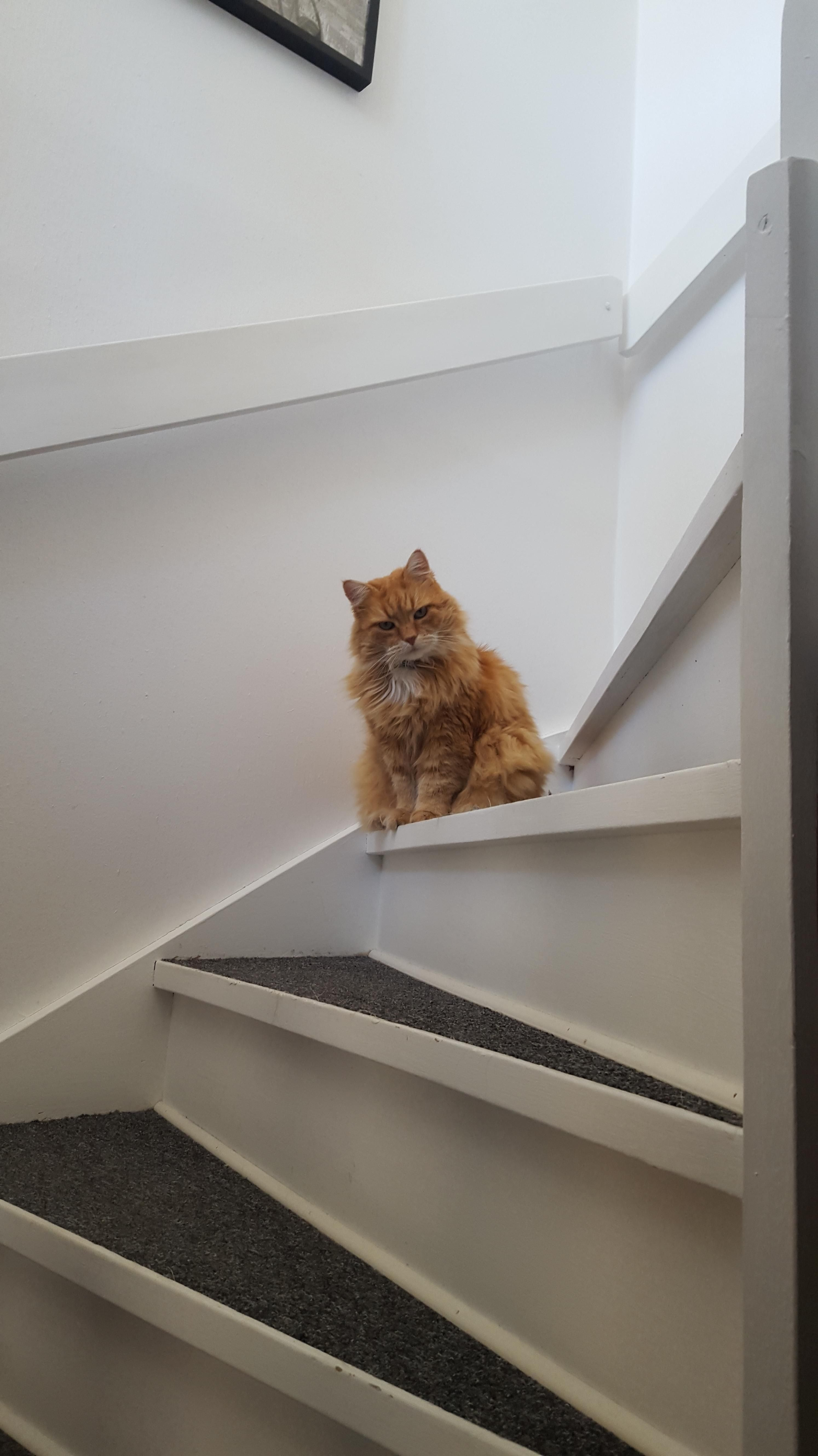 My mom's 12 year old Maine coon/Norwegian forest cat. Say hello to Frasse http://ift.tt/2raaHT7