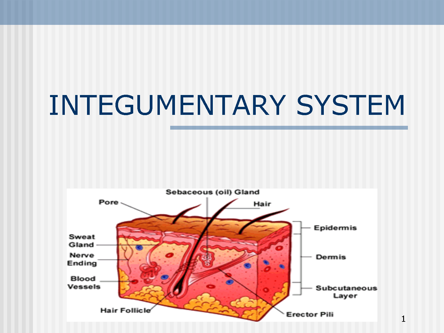 Pin On Integumentary