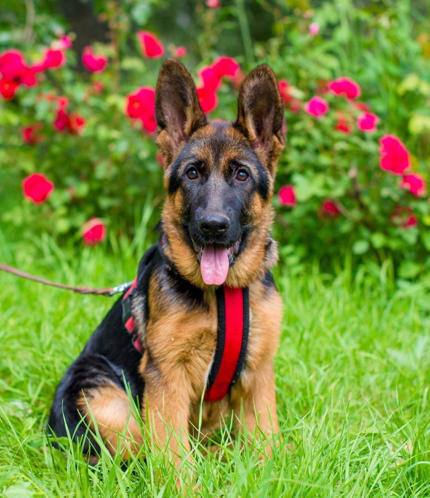 Gorgeous Anett The German Shepherd Dog Baby Girl German