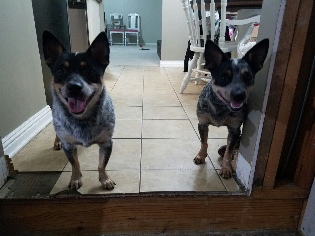 Biscuit Butters Chi Heelers Blue Heeler Chihuahua Mix