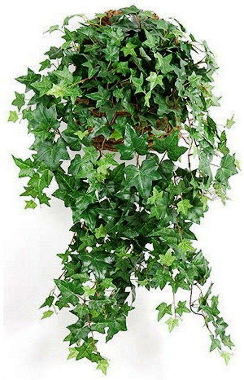 Комнатное растение плющ: фото видов Канарский