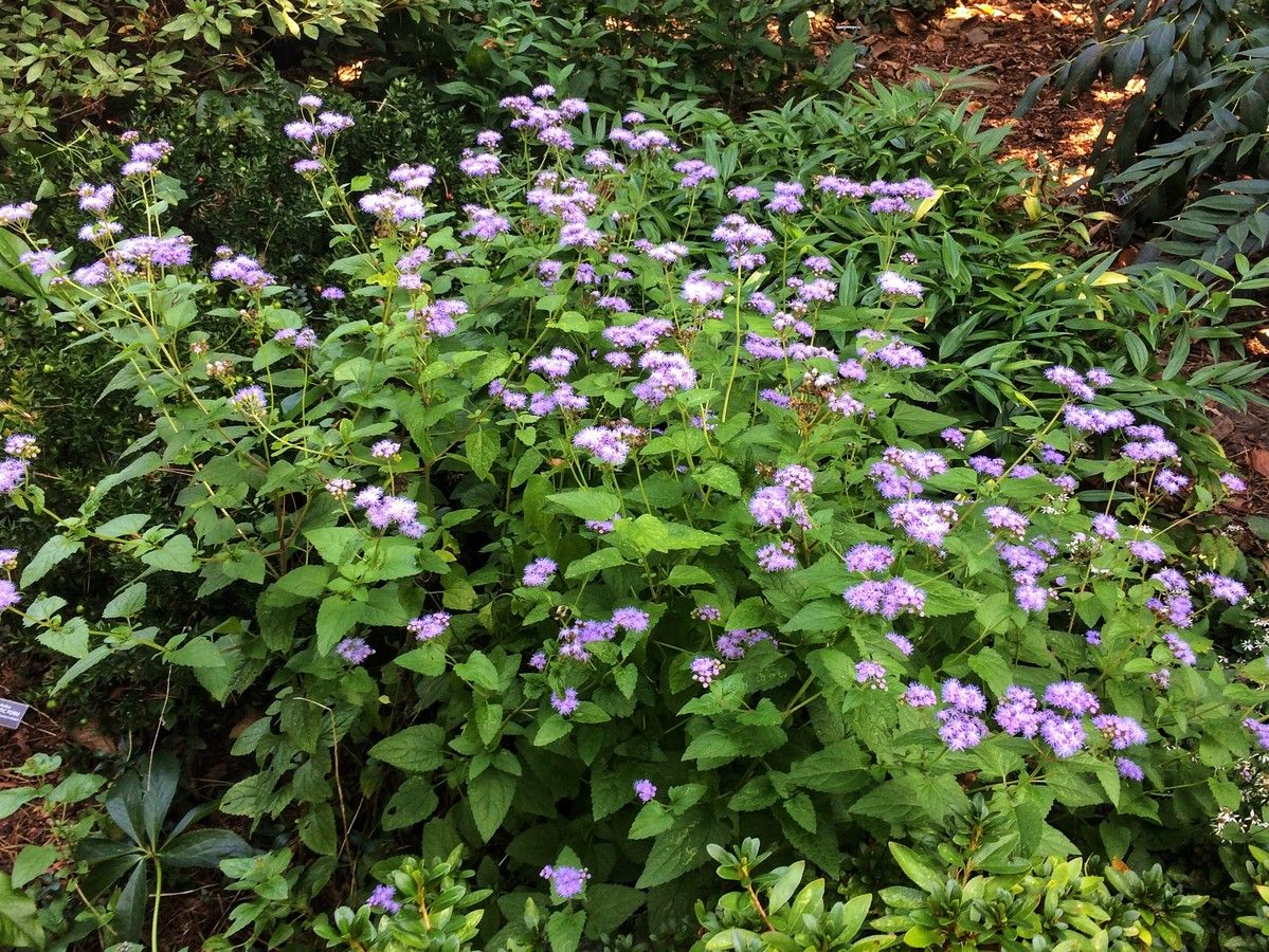 Enjoy The Blues With Wild Ageratum Hardy Perennials Perennial Plants Perennials