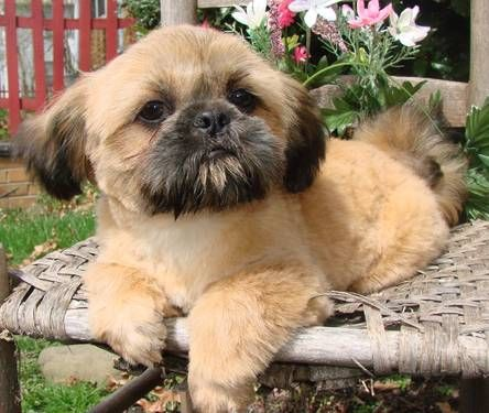 A K C Shih Tzu Puppies Shih Tzu Puppy Shih Tzu Puppies