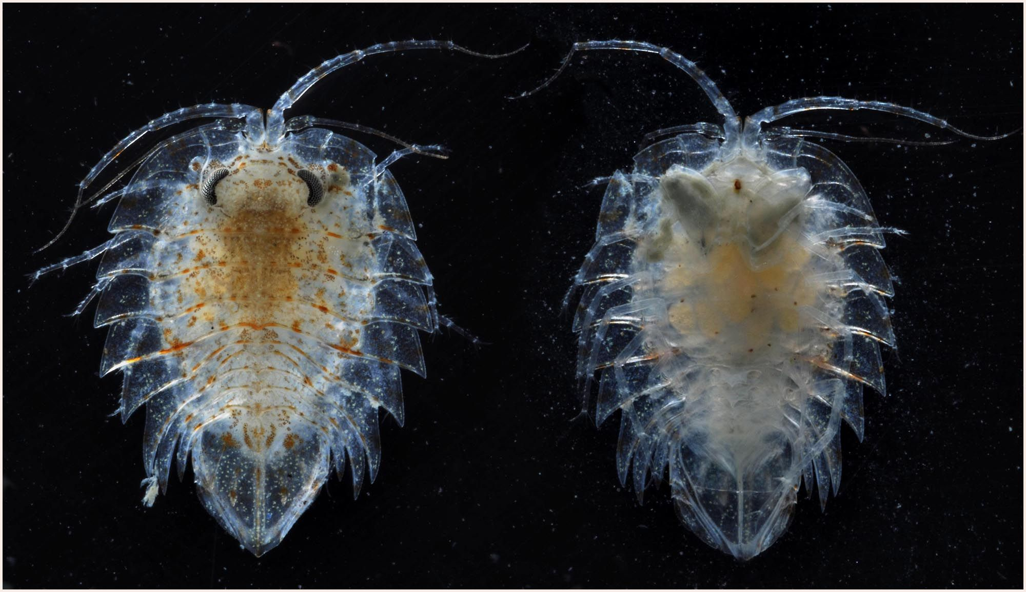Isopod crustaceans by the British Antarctic Survey via http ... for Weird Sea Creatures Discovered In Antarctic  173lyp