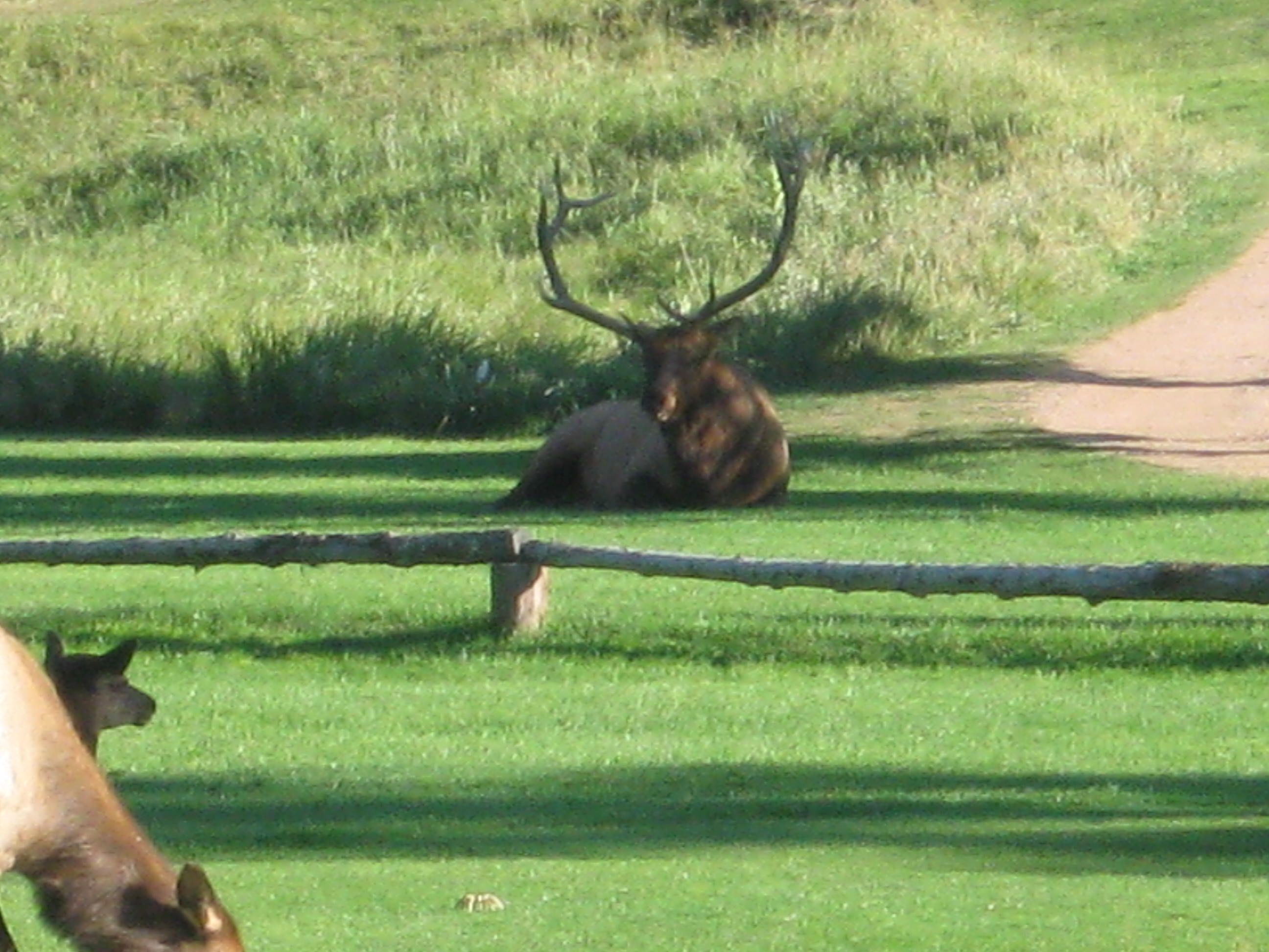 Wild elk on the golf course! Evergreen, Colorado Golf
